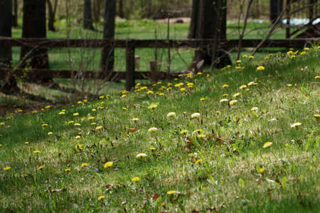 Yellow Dandelion flowers in the fileds