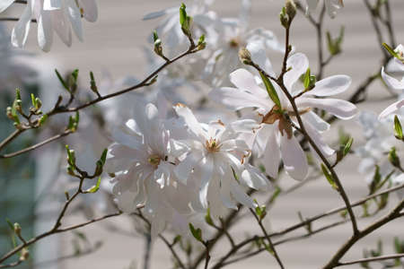 Close up of beautiful white Magnolia flowers on branches in Spring season.