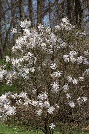 White Magnolia flower tree in Spring season.