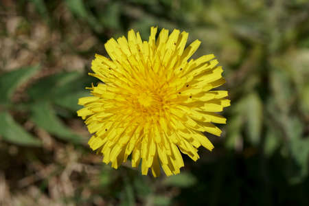 Top down view of a yellow Dandelion flower, selective focus.