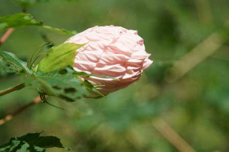 A large pink Hibiscus close up.