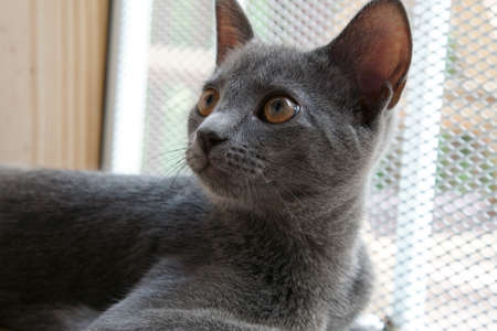 Close up of a grey Russian cat. Stock Photo