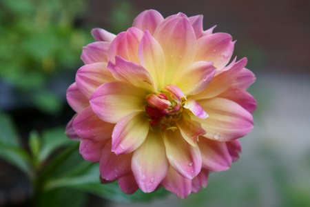 A closeup of a pink and yellow Dahlia flower with water drops.