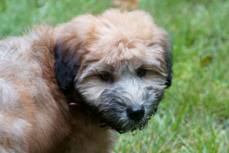 A pure bred Wheaton Terrier puppy dog with wet face. Stock Photo