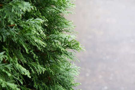 A nature background of Thuja sinensis leaves with copy space. Stock Photo