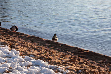 Ducks resting near the shores of a lake in winter. Stock Photo