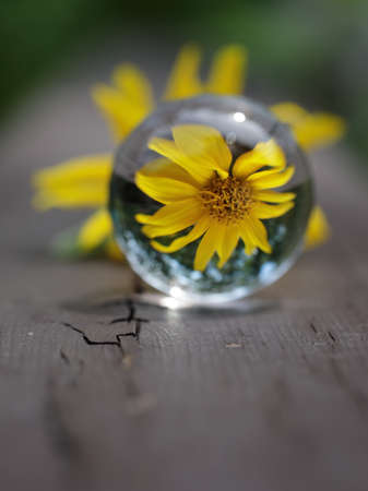 Still life of refraction of yellow Sunflower in the summers in a glass ball Standard-Bild