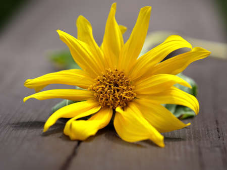 Close up of yellow Sunflower in the summers