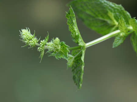 Close up of fresh home grown Mint leaves and flowers Standard-Bild