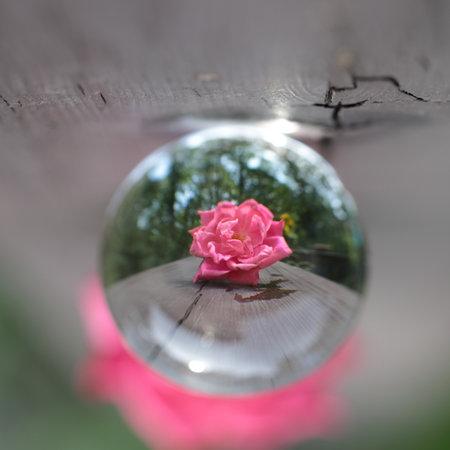 Still life of refraction of Pink Rose in Summer season.
