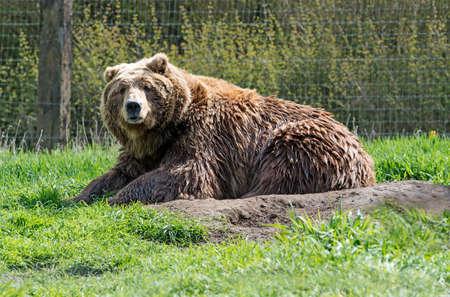 alaskan bear: Alaskan wild adult brown grizzly bear Stock Photo