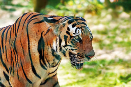tigresa: Primer plano de tigre de Bengala real en una caza