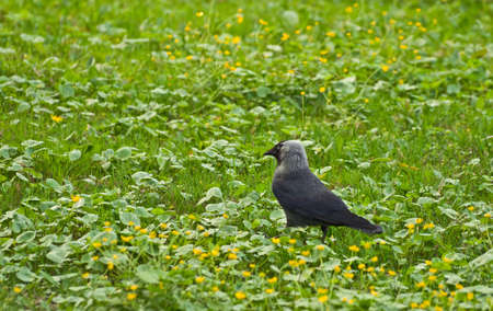 Jackdaw, closely looks Stock Photo - 2995236