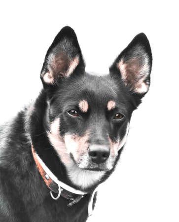 big dog, isolated portrait photo