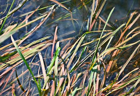 carex: Aquatic vegetation, closeup