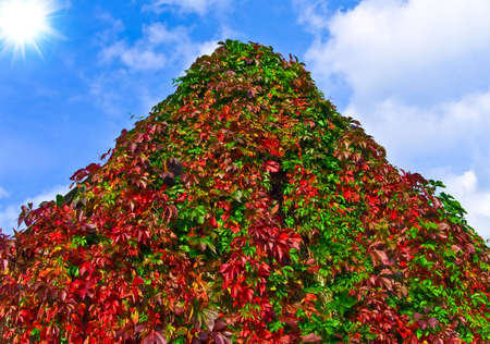 liana: Autumn overgrown liana on house wall