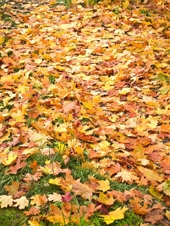 fallen leaves on grass, shallow dof. photo