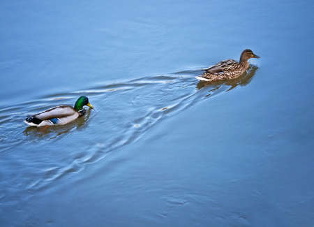 duck pair in blue water photo