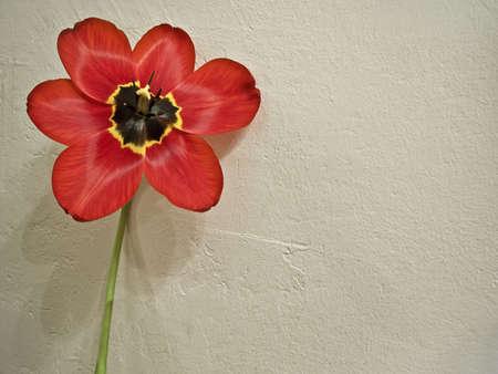 Single tulip near wall photo