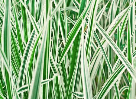 carex: the cultivated grass, closeup