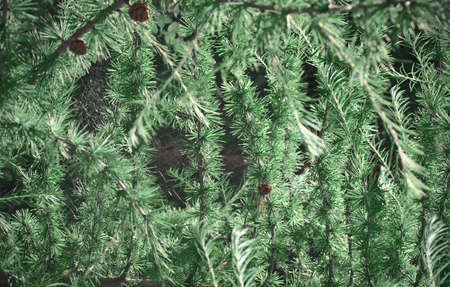 firry: the conifers branches
