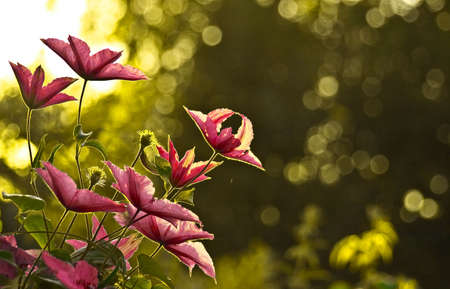 contrasted: the clematis flower, contrast