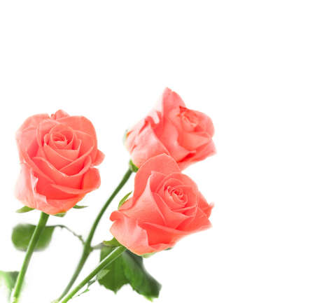 rosa: Roses, isolated  Stock Photo