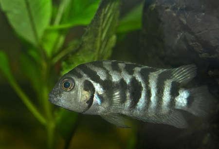 cichlid: aquarium fish Cichlid