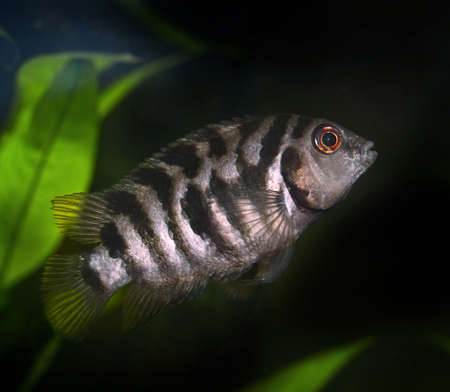 cichlid: Cichlid, aquarium fish