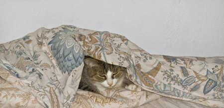 cat under blanket  photo