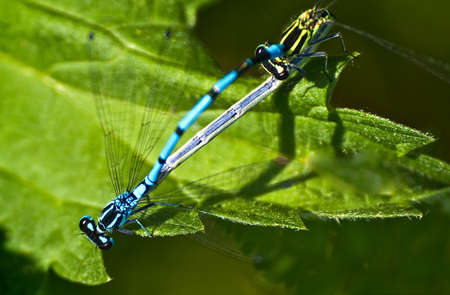 twinning: dragonflies on leaf