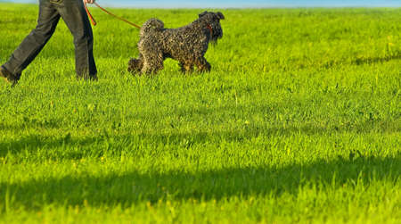 kerry blue terrier: walking owner with Kerry terrier