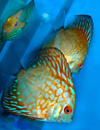 pez disco: peces de lanzamiento de disco