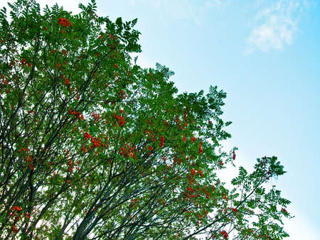ashberry: ashberry trees