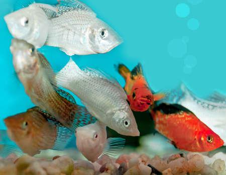 molly: closeup of aquarium