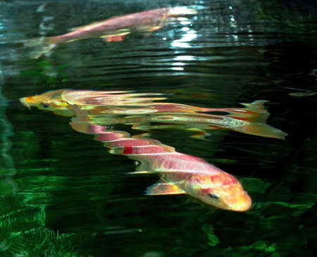 decorative carps Stock Photo - 10501741