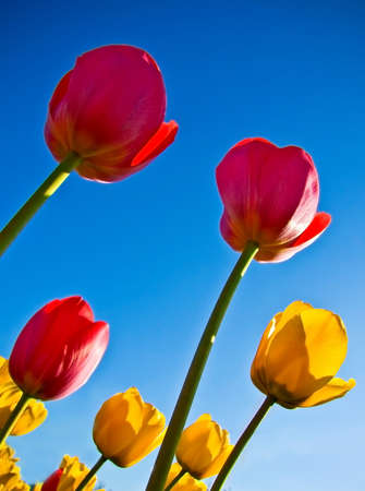colorfu: colorfu tulips, sky