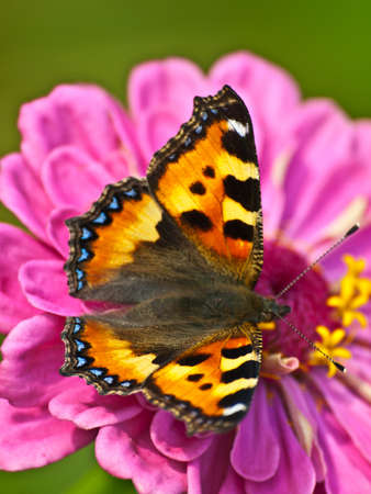 pollinator: Chocolate-butterfly on flower