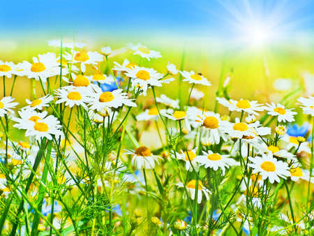 chamomile flower: sunny daisy field Stock Photo