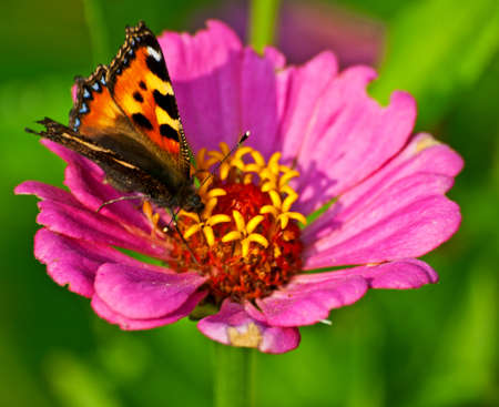 pollinator: Chocolate butterfly on flower