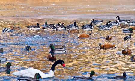 wintering: wintery colony of water-birds