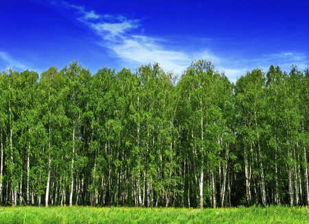birch forest edge photo