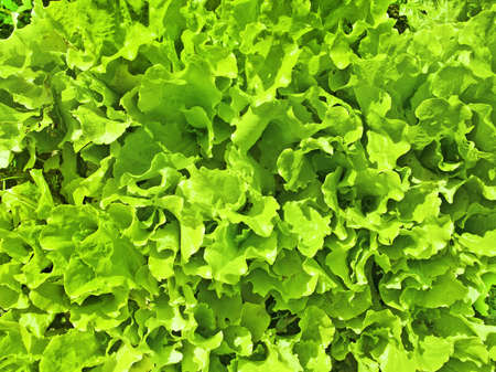 potherb: the lettuce