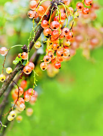 red currant: a white currants