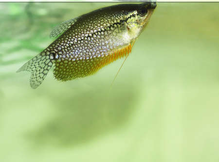 pearl gourami   Trichogaster leeri Stock Photo - 13617594