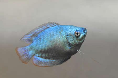 freshwater: the Dwarf gourami (Colisa lalia) Stock Photo