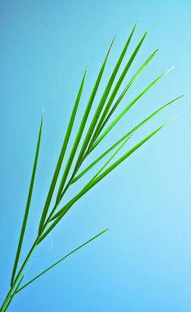palmy: palm leaf