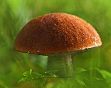 the orange-cap mushroom photo