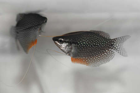 Pearl Gourami (Trichogaster leeri)  Stock Photo - 14709924