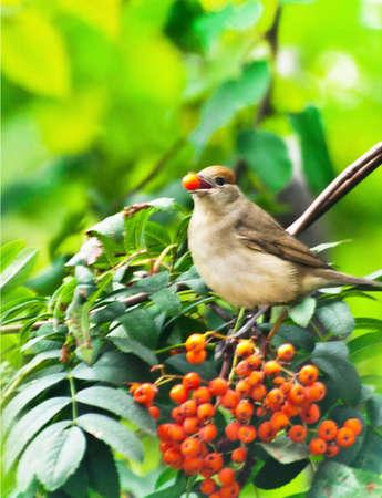 rowan tree: the blackcap bird-female (Sylvia Atricapilla)